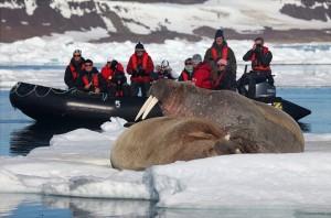 svalbard12expedition-vessel-zodiac-w-walrus[1]